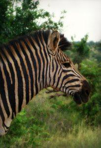 a zebra in nature