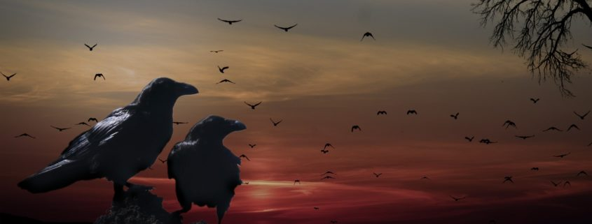 Crows sitting and flying before dark clouds and a red sunset