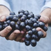 Hands of a white man offering ripe grapes.