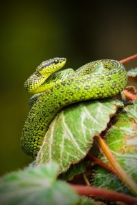 green serpent on wine leaves