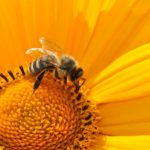 honey bee sitting on a yellow flower folling the beauty it loves