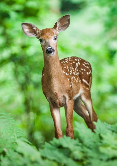 young deer in the green